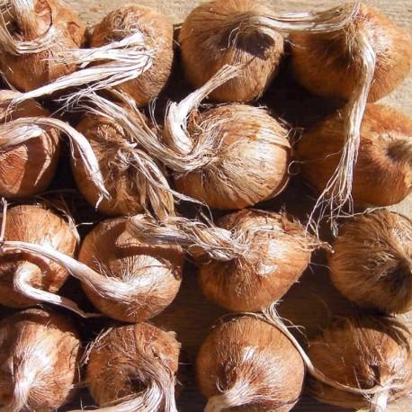 10 Bulbes de crocus sativus 7/8